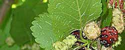 Consulta plantas fichas con los cuidados de las plantas - Cuidados del magnolio ...