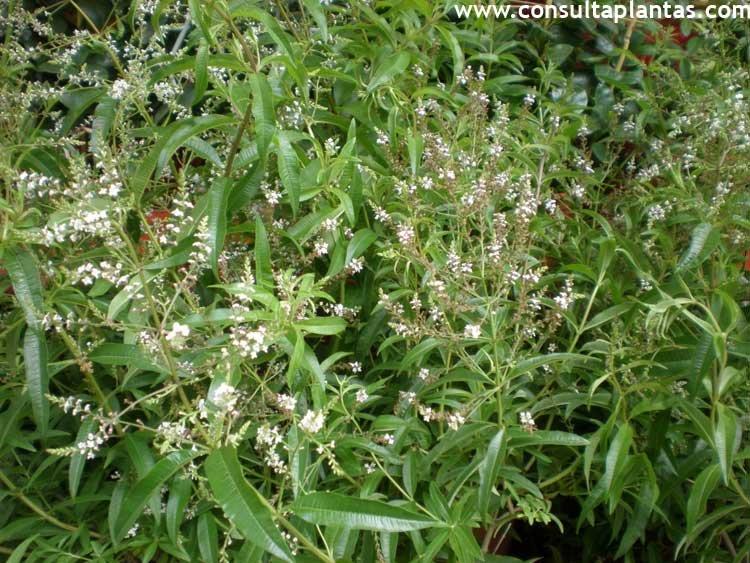 Aloysia citriodora hierba luisa o cedr n cuidados for Salsa de hierba luisa