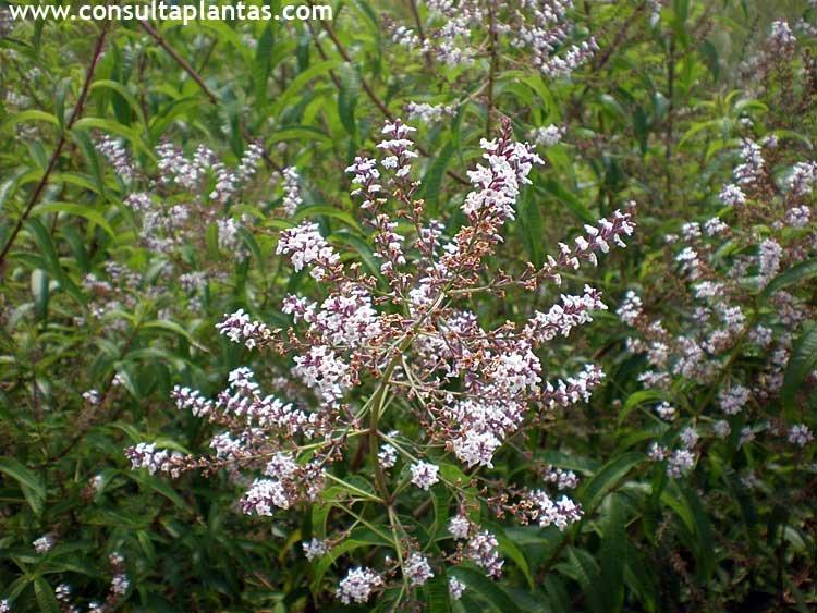 Fotos de hierba luisa planta consulta plantas fichas con - Planta verbena cuidados ...