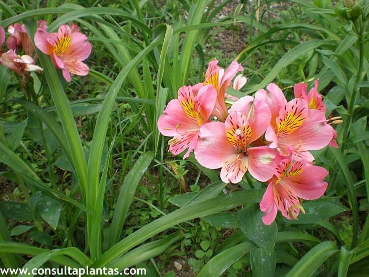 flores del jardìn: el cuidado de las astromelias