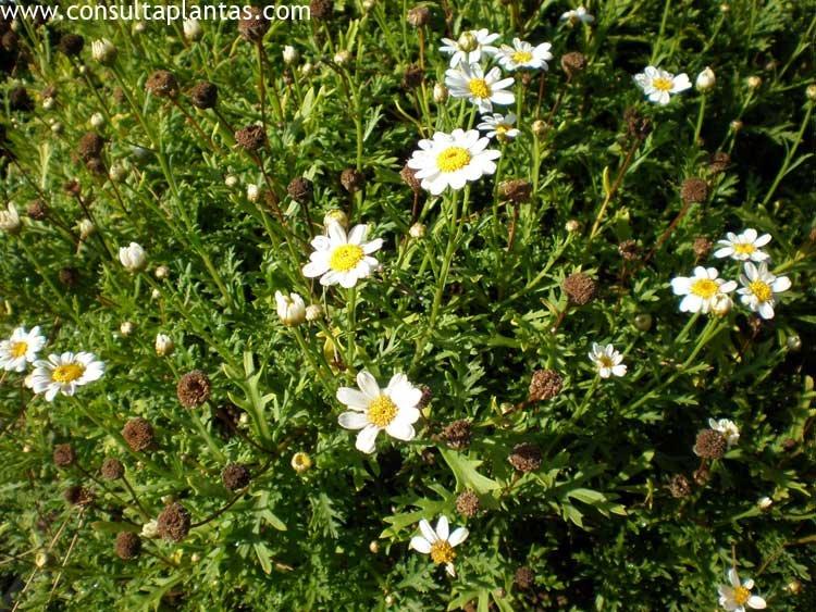 Margaritas De Colores En La Hierba 30995: Plantas Margaritas. Excellent Margaritas With Plantas