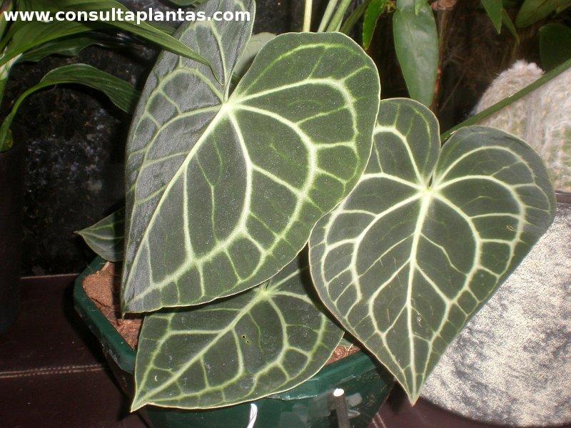 Anthurium crystallinum o anturio cristalino cuidados for Plantas de interior anturio