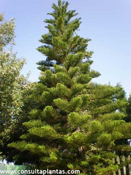 Araucaria heterophylla o pino de norfolk cuidados for Tipos de pinos para jardin fotos