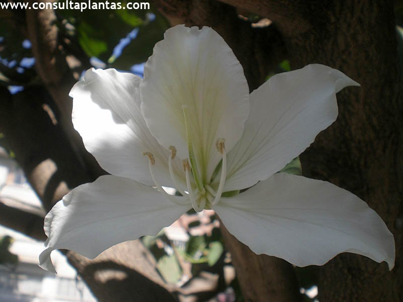 Bauhinia variegata o rbol de las orqudeas Cuidados