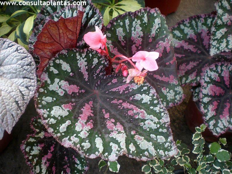 Begonia rex o begonia de hoja cuidados for Plantas de interior hojas grandes