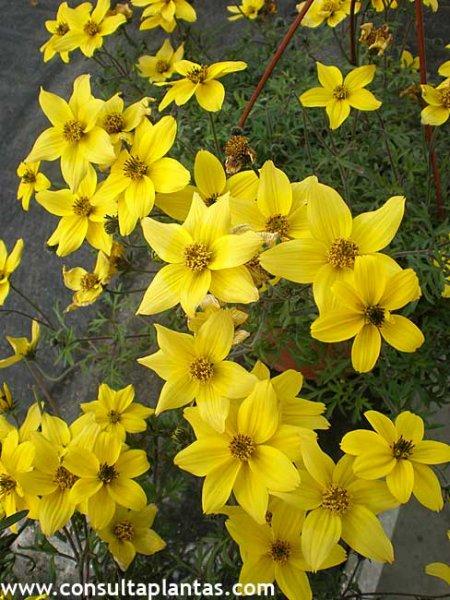 Bidens ferulifolia o verbena amarilla cuidados - Planta verbena cuidados ...