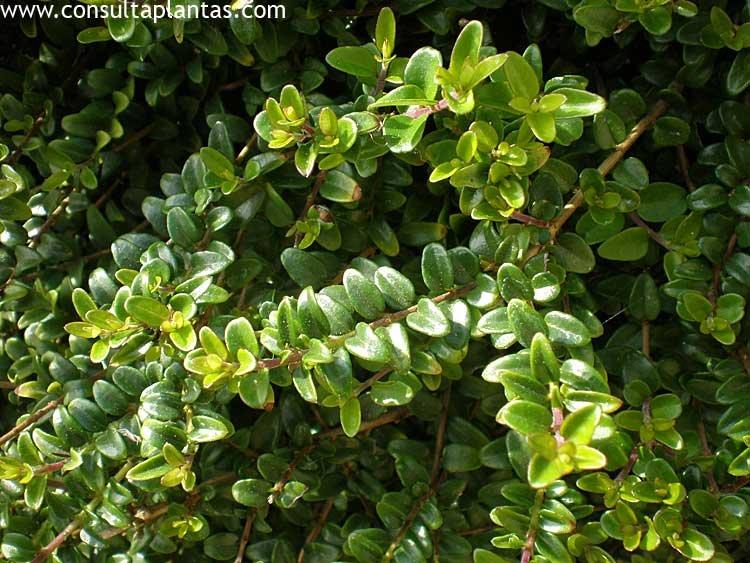 Buxus sempervirens boj com n o boje cuidados for Arbol comun