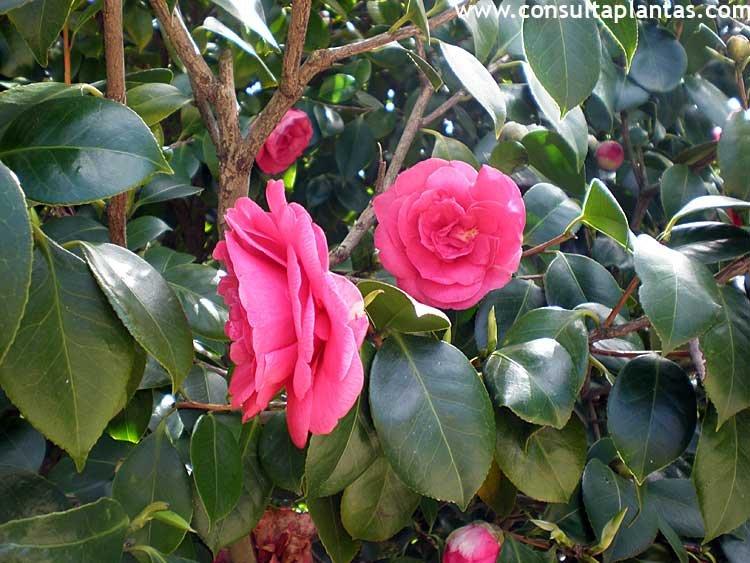 camellia japonica o camelia cuidados