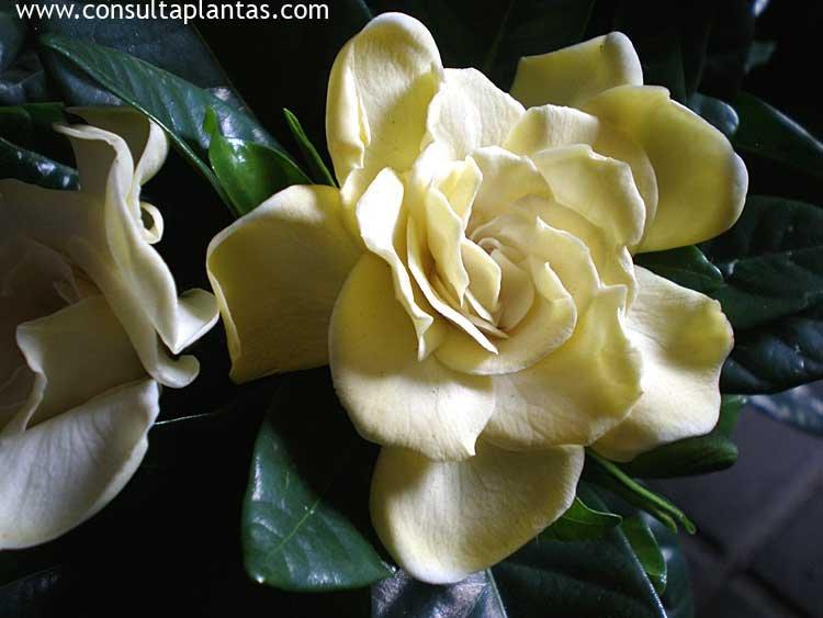 Camellia japonica o camelia cuidados - Cuidados de la camelia japonica ...