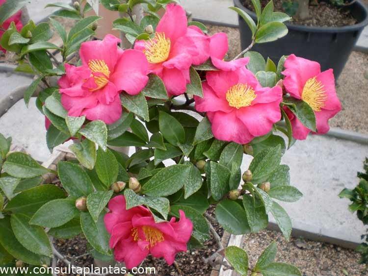 Camellia sasanqua o camelia de navidad cuidados - Cuidados planta navidad ...
