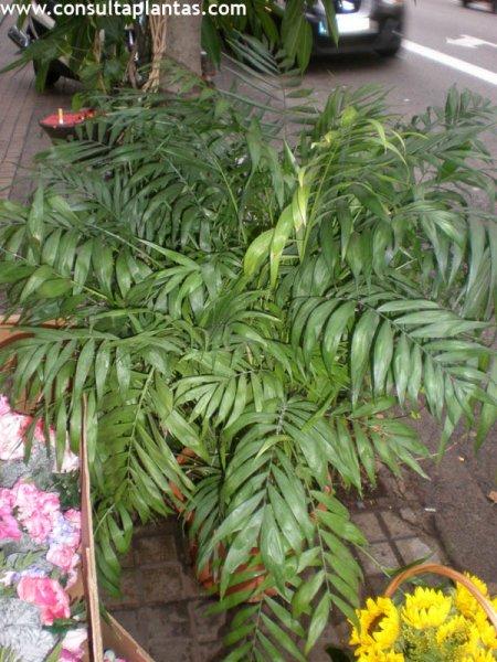 Chamaedorea elegans o palmera de interior cuidados - Planta interior palmera ...