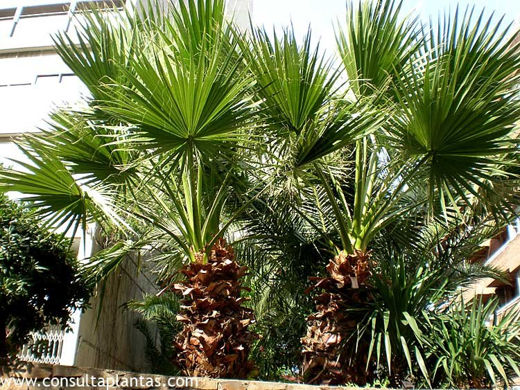 Chamaerops humilis o palmito cuidados - Como se planta el bambu ...