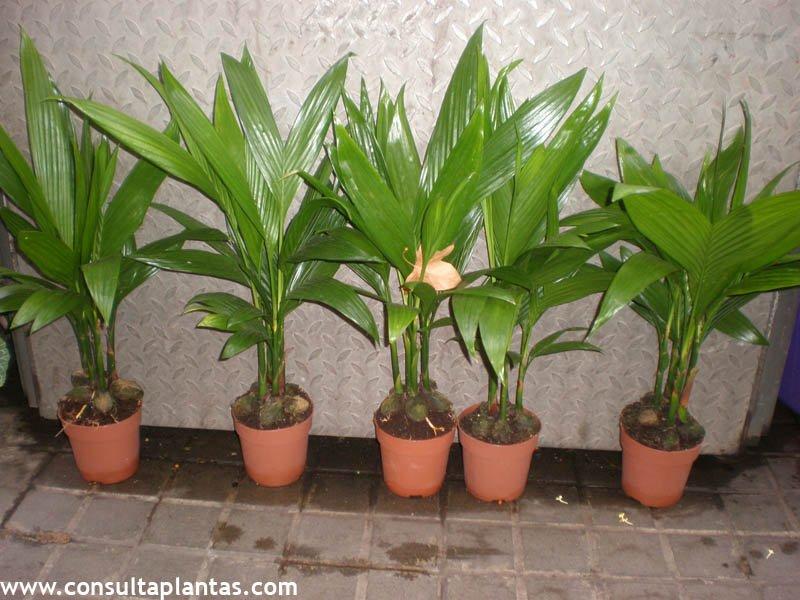 cocos, cocotero o palma de coco | cuidados