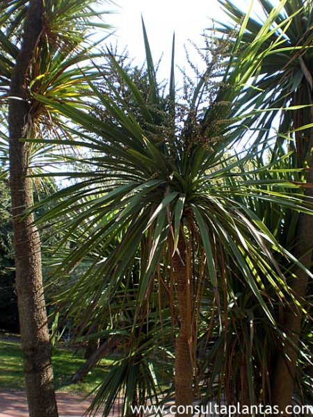 Banksia o rbol madreselva australiano cuidados - Yucca elephantipes cuidados ...