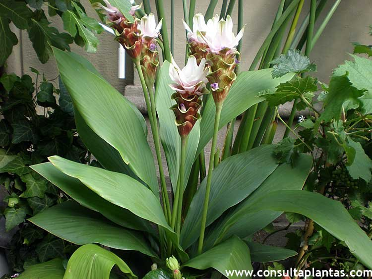 Fotos de la planta Curcuma alismatifolia, Cúrcuma o Jengibre