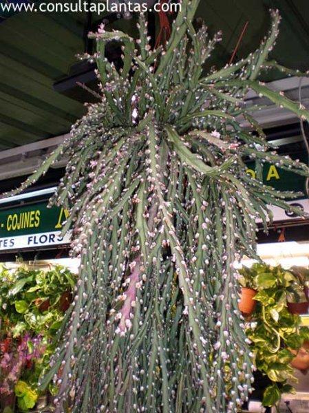Disocactus Flagelliformis O Cactus Junco Cuidados