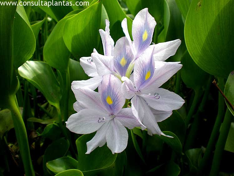 Eichhornia crassipes o jacinto de agua cuidados - Jacinto planta cuidados ...