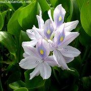 Eichhornia crassipes o jacinto de agua cuidados for Jacinto planta interior