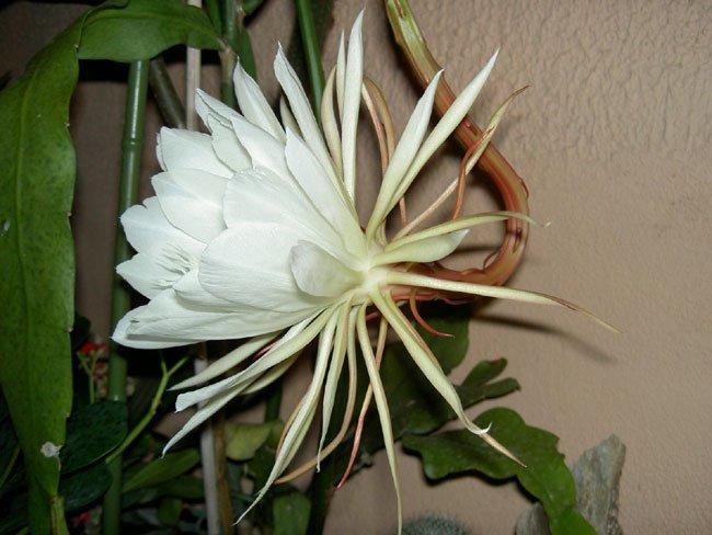 Epiphyllum O Pluma De Santa Teresa Cuidados