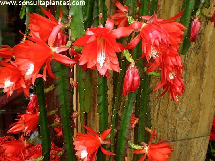 Epiphyllum o pluma de santa teresa cuidados for Santa teresita planta