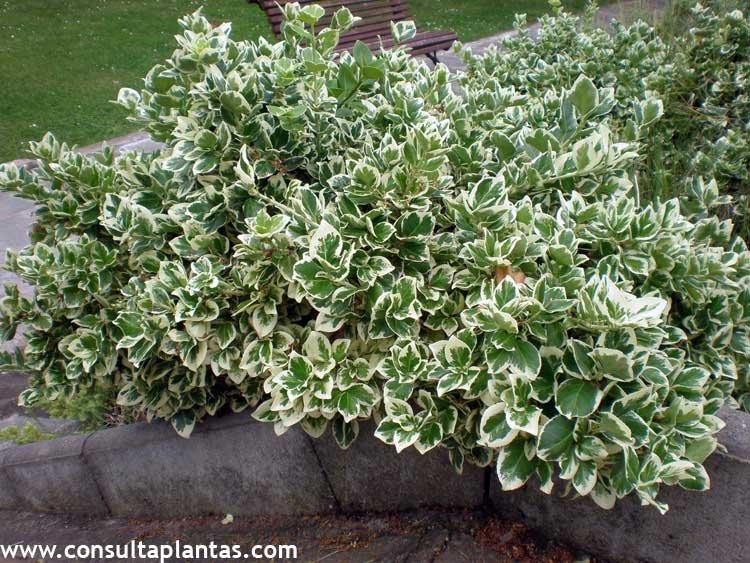 Euonymus fortunei o bonetero enano cuidados for Arbustos enanos para jardin