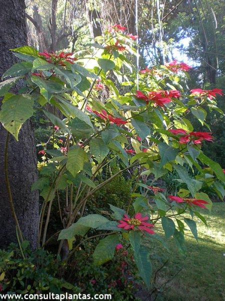 Calluna vulgaris brezo o brecina cuidados - Flor de pascua cuidados ...