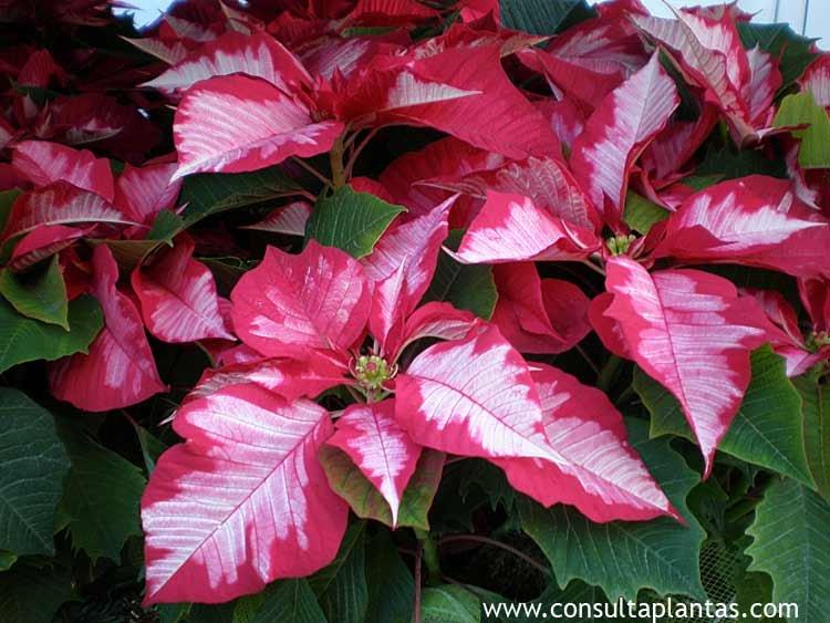 Como cuidar planta de navidad gallery of ms sobre el - Cuidados planta navidad ...