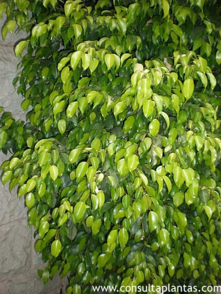 Ficus benjamina o ficus de hoja peque a cuidados - Entretien d un ficus ...