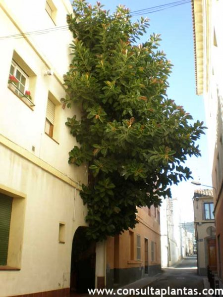 Canarina canariensis canarina o bic caro cuidados - Ficus elastica cuidados ...