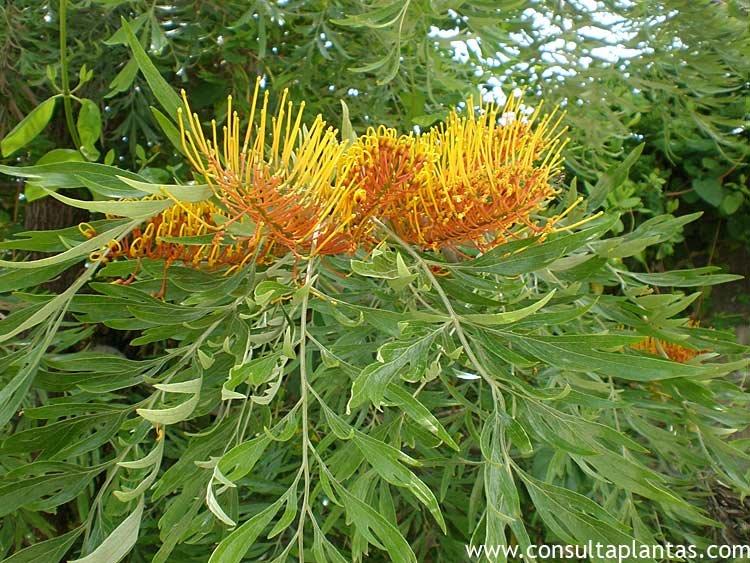 Grevillea robusta o rbol de fuego cuidados for Arbol del fuego jardin