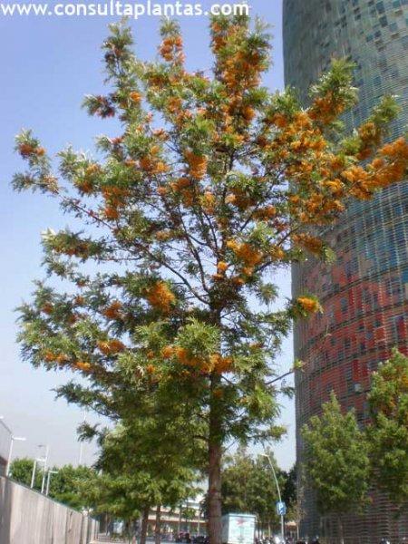 Grevillea robusta o rbol de fuego cuidados for Arbol de fuego jardin