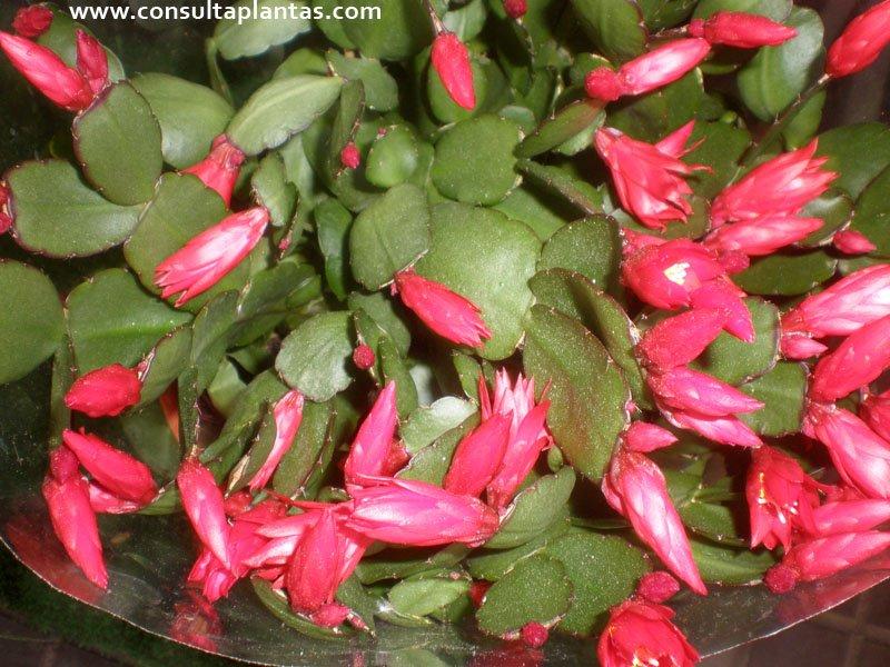 Hatiora gaertneri o cactus de pascua cuidados - Que cuidados necesita la flor de pascua ...