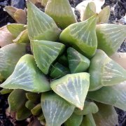 Haworthia retusa
