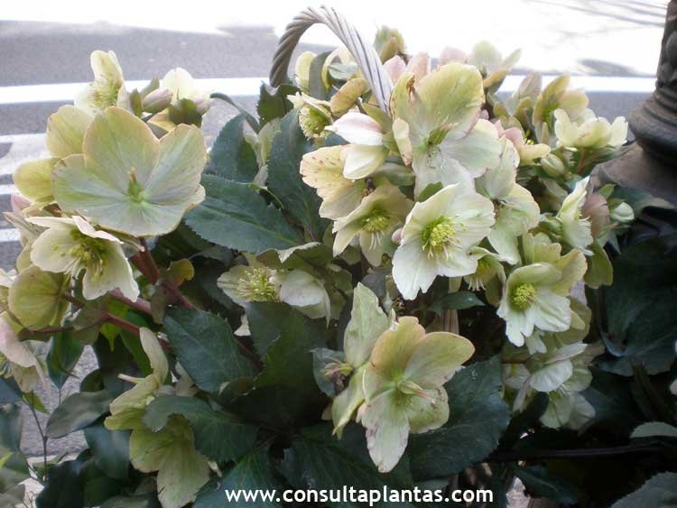 Plantas de navidad cuidados latest planta adulta with - Cuidados planta navidad ...