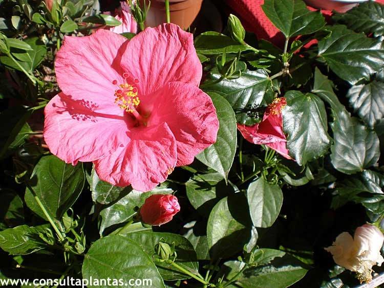 Hibiscus rosa sinensis o hibisco cuidados for Hibiscus arbol
