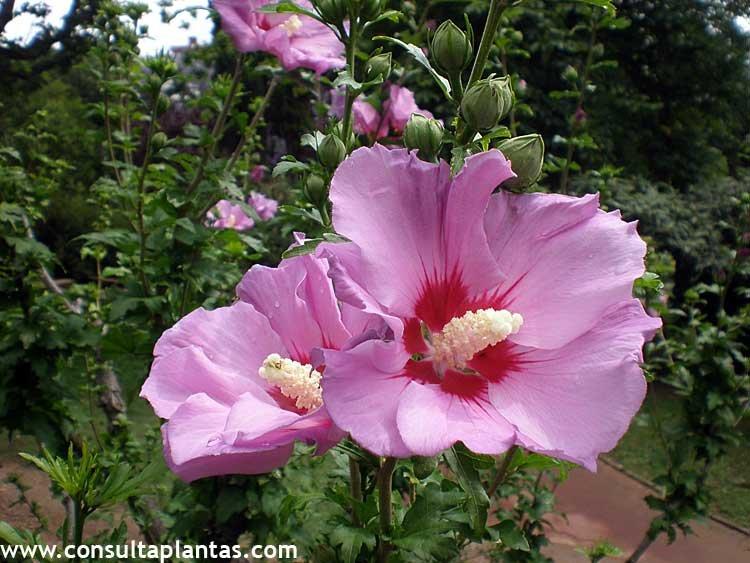 Chamelaucium uncinatum o flor de cera cuidados for Hibiscus arbol