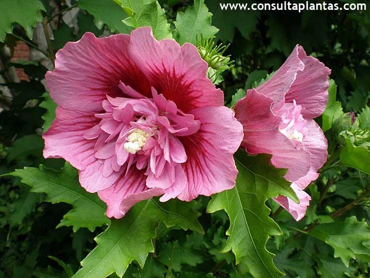 Hibiscus syriacus altea o rosa de siria cuidados for Hibiscus arbol
