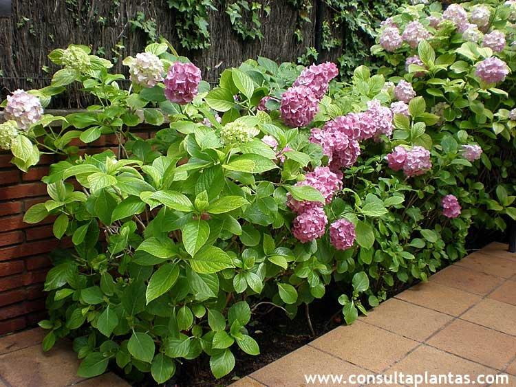 Hydrangea macrophylla u hortensia cuidados - Cuidados de las hortensias ...