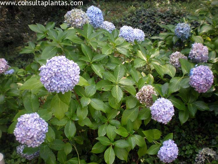 hydrangea macrophylla u hortensia cuidados. Black Bedroom Furniture Sets. Home Design Ideas