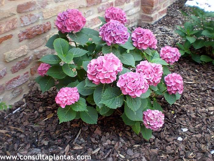 Hortensias cuidados beautiful consejos para cultivar - Cuidado de las hortensias ...