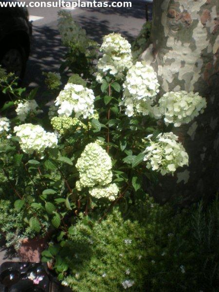 Cuidados de la planta hortensia beautiful cuidados de las - Hortensias cuidados poda ...