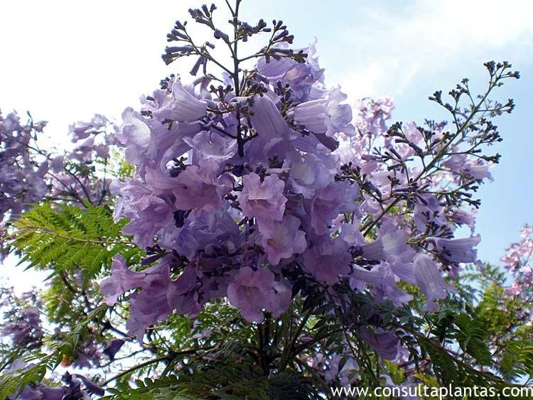 Jacaranda arbol reproduccion asexual de las plantas