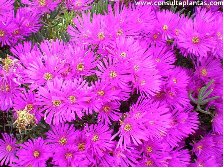 Plantas de sol flores resistentes al sol y el calor cleo - Plantas que aguantan mucho sol y calor ...