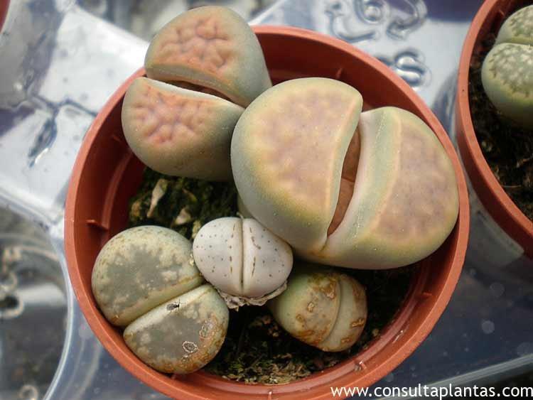Lithops Cactus piedra o Litops Cuidados
