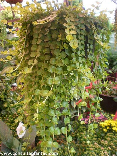 Lysimachia nummularia o planta de la moneda cuidados - Magnolia planta cuidados ...