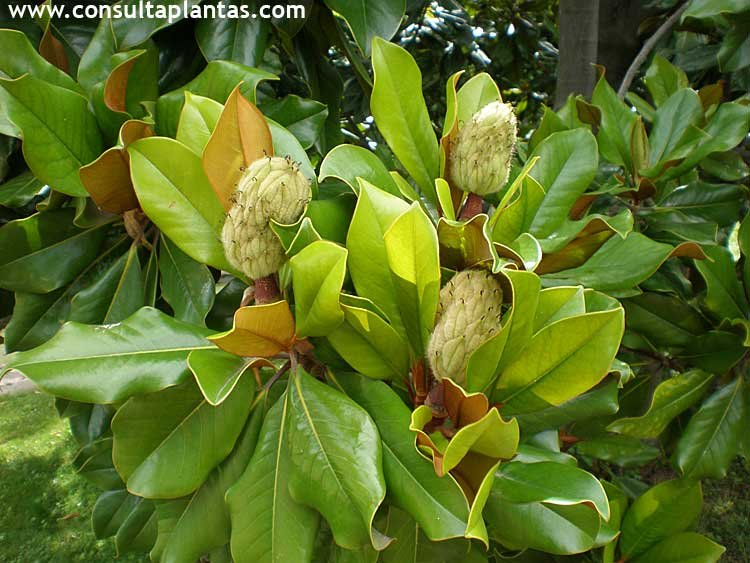 magnolia grandiflora o magnolio cuidados On magnolia planta cuidados