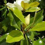 Magnolia grandiflora o magnolio cuidados - Magnolia grandiflora cuidados ...