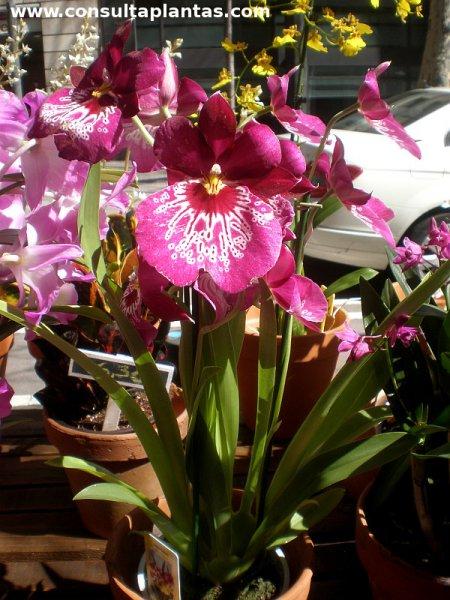 Plantas orquideas cuidados for Cuidados orquideas interior