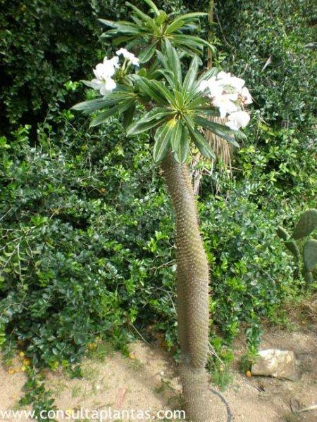 Pachypodium Lamerei Palma O Palmera De Madagascar Cuidados