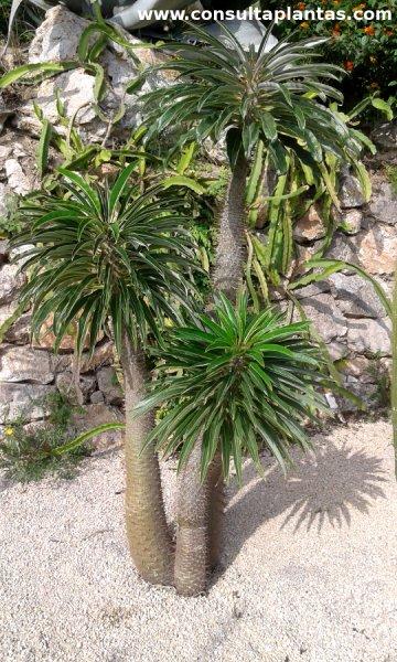 Pachypodium lamerei palma o palmera de madagascar cuidados for Cactus cuidados exterior